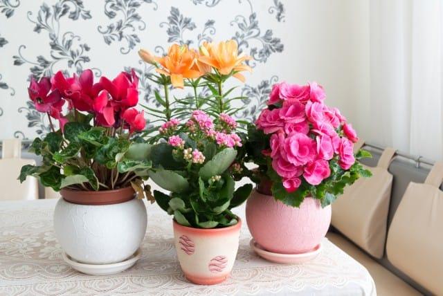 come-coltivare-ciclamino-vaso-giardino-guida-indicazioni-utili