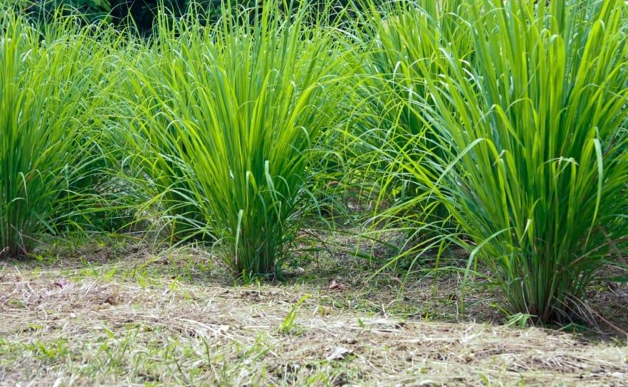 Disinfestazione zanzare non sprecare - Piante aromatiche da giardino ...