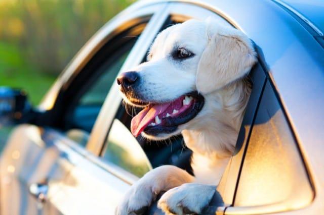Cane in auto: come si trasporta (foto). In caso di incidente diventa un proiettile