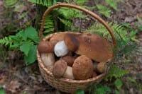 Funghi commestibili: ecco quali sono e come riconoscerli