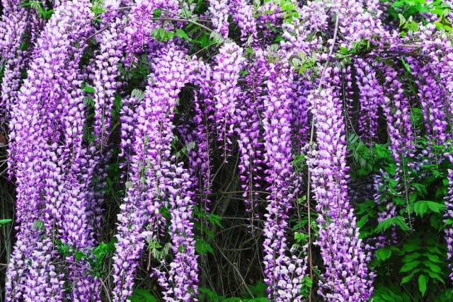 Come coltivare il glicine in giardino o in vaso sul balcone (Foto). Attenti alla potatura