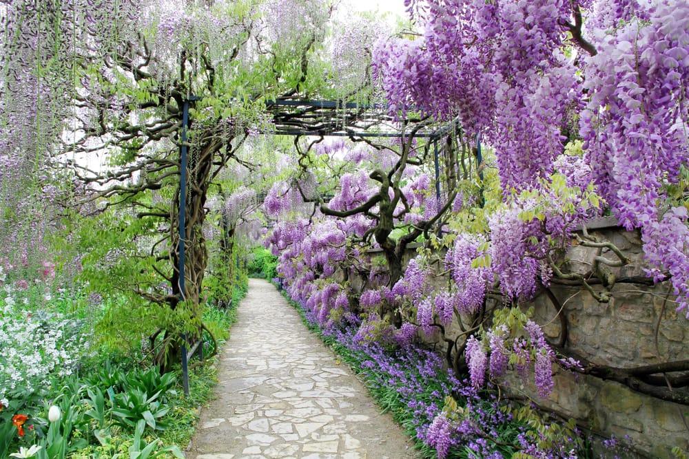 Come coltivare il glicine in giardino o in vaso sul balcone (Foto). Attenti a...