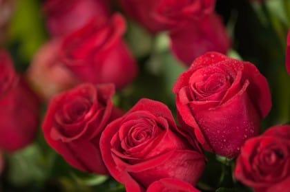 Come coltivare le rose