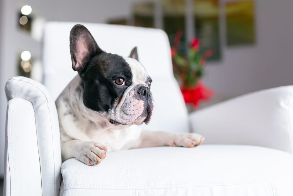 Come tenere la casa pulita con un cane non sprecare - Pulire divano tessuto bicarbonato ...