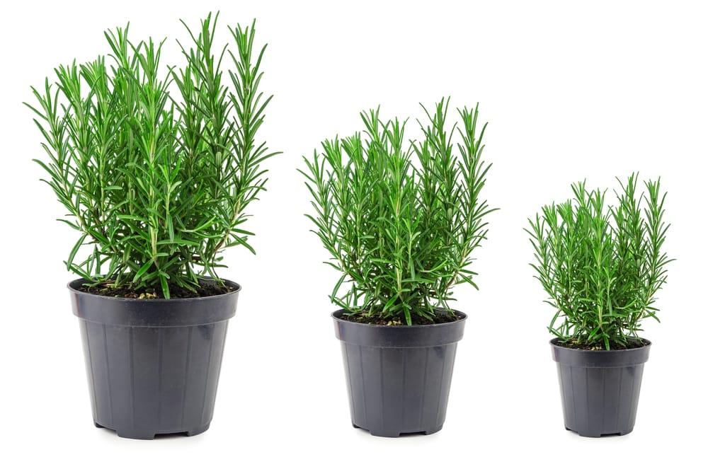 Come coltivare rosmarino in casa non sprecare - Come coltivare il basilico in casa ...