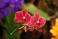 Orchidee selvatiche in Italia (foto): nel Parco del Gargano ci sono 90 specie