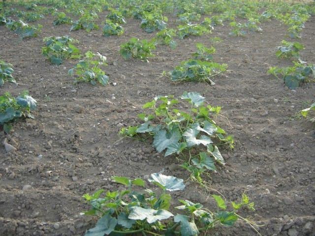 recupero-frutta-verdura-invenduta-degano-zucche (3)