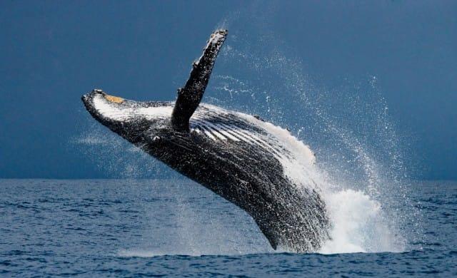 Salvare le balene dall'estinzione, grazie ai droni: il progetto di Ocean Alliance (Foto e Video)