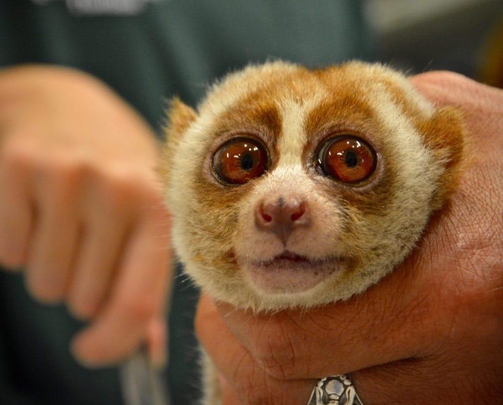 Turismo crudele, alla scimmietta Boris hanno strappato i denti per selfie sicuri con i visitatori