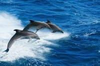 I delfini parlano come gli uomini. Per i tempi, le pause e la voce (video)