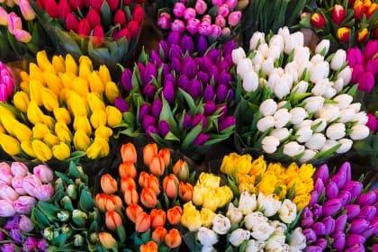 Come coltivare i tulipani in giardino o in vaso sul balcone: è l'autunno il periodo giusto