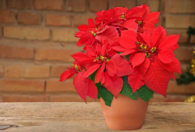 Foto Stella Di Natale.Come Coltivare La Stella Di Natale In Vaso Non Sprecare