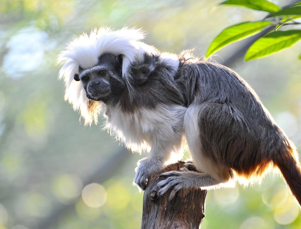 I gemelli di Tamarino Edipo nati a Roma, le scimmie più piccole del mondo (foto)