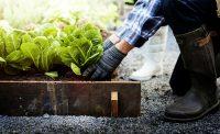 Cosa coltivare a febbraio nell'orto o in vaso. Usate i teli per riparare le piante dalle gelate