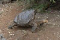 Diego, la tartaruga che ha fatto rinascere le Galapagos mettendo al mondo 800 figli