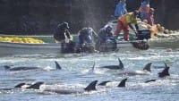 I delfini invadono le Eolie. Così pesca, turismo e ambiente diventano compatibili (video)
