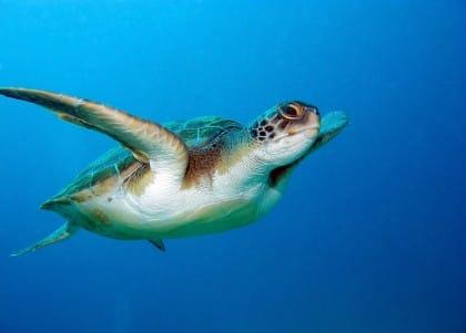 Salvataggio delle tartarughe, così in Calabria si sta facendo un miracolo (video e foto)