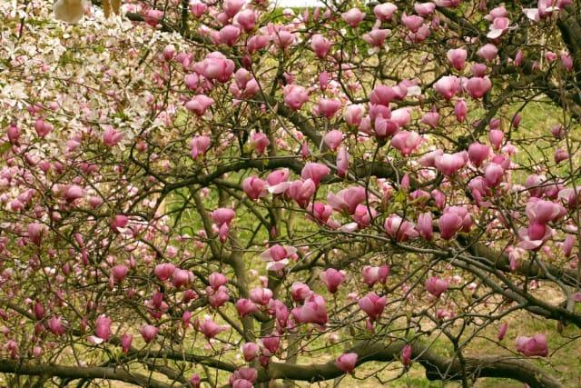come-coltivare-magnolia (1)