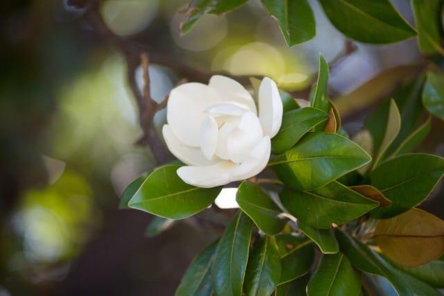come-coltivare-magnolia (10)