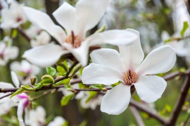 come-coltivare-magnolia (12)