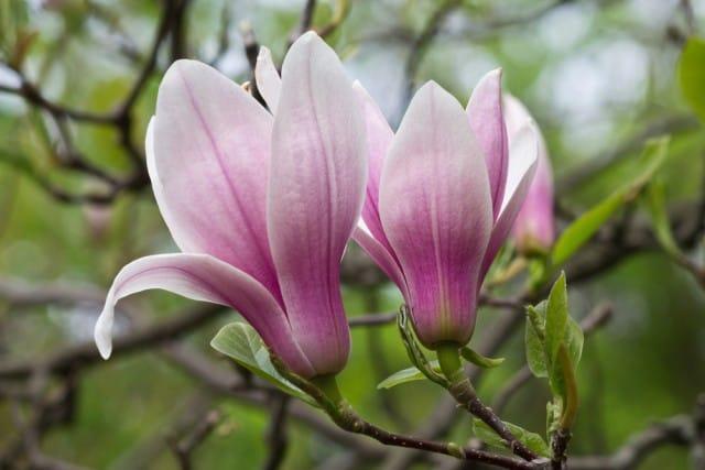 come-coltivare-magnolia (13)
