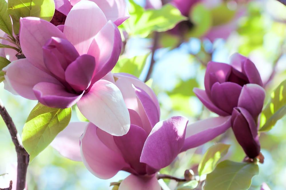 come coltivare la magnolia