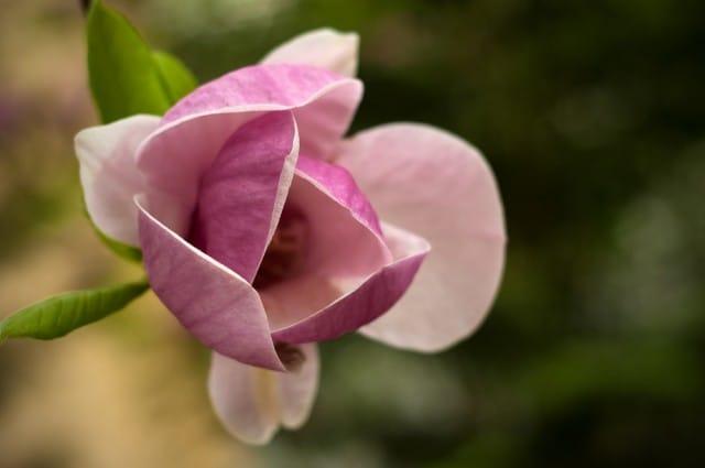come-coltivare-magnolia (6)