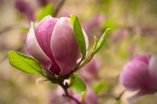 come-coltivare-magnolia (7)