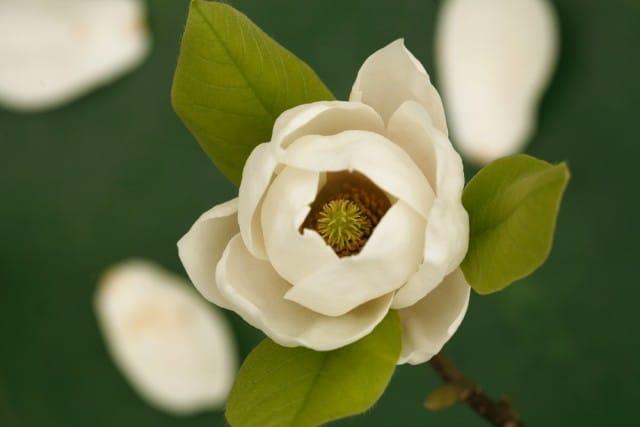 come-coltivare-magnolia (9)