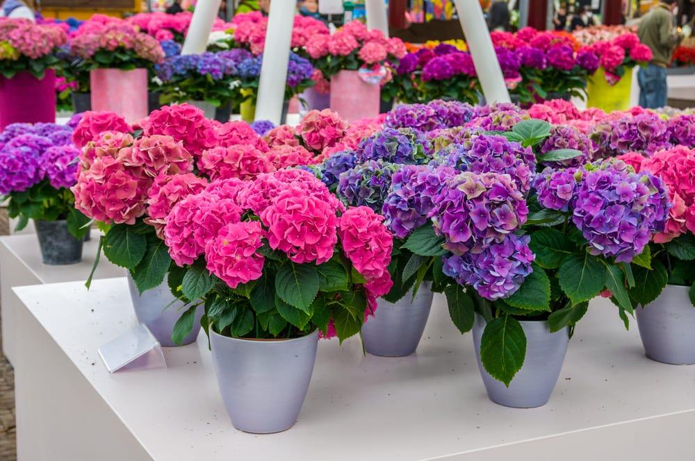 Potatura Ortensie In Vaso : Come coltivare ortensia non sprecare