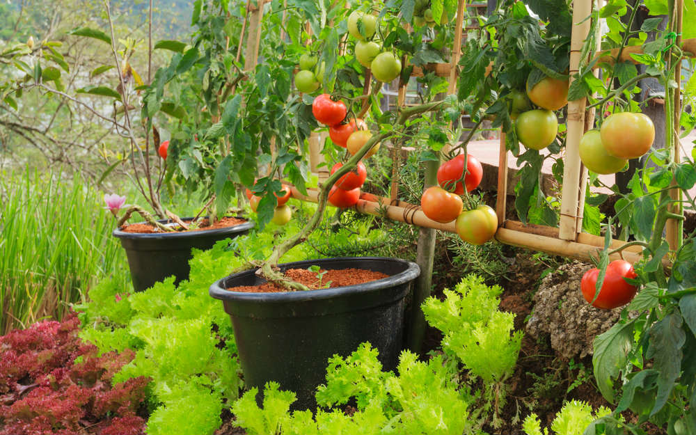 Lavori nell'orto a giugno: si seminano broccoli e cavolfiore e si raccolgono fragole e ciliegie