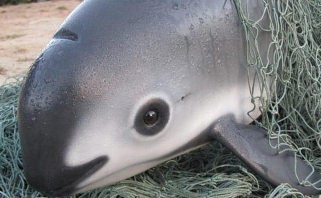 La focena, il più piccolo delfino del mondo, sta scomparendo. Colpa della pesca illegale (foto)