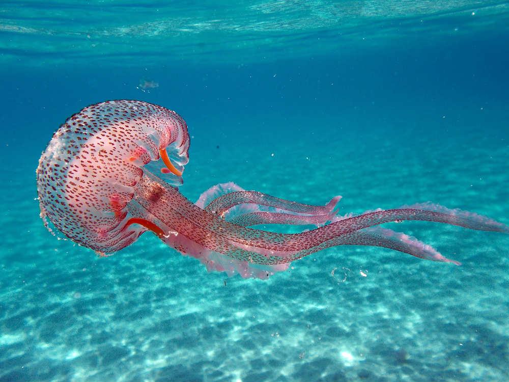 Come difendersi dalle meduse. E i migliori rimedi naturali in caso di punture