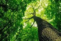 Quante specie di alberi abbiamo nel mondo? 60.065. La maggior parte in Brasile, 130 in Italia (foto)
