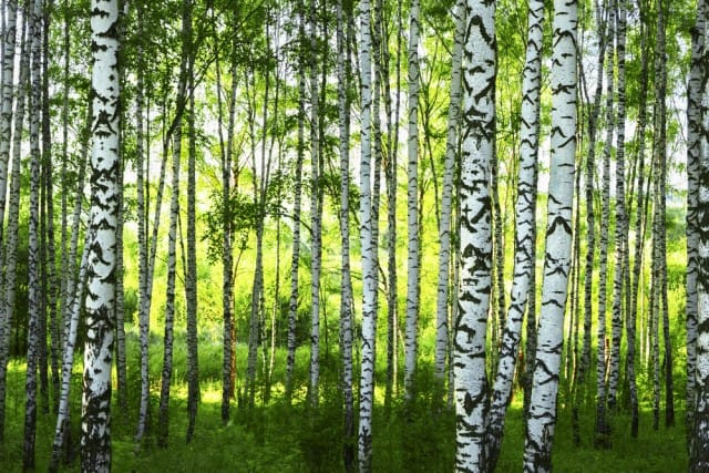 Specie alberi mondo4