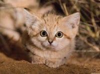 I gatti delle sabbie, una specie difficilissima da incontrare, filmata per la prima volta (video)