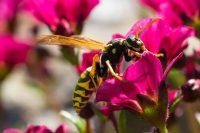 Rimedi naturali contro le vespe: aglio, caffè e citronella per allontanarle ed evitare le punture