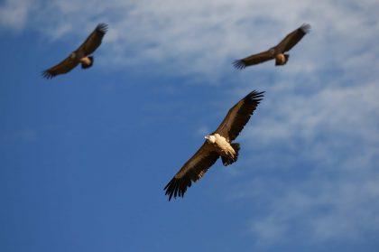 Presenza avvoltoi in Italia