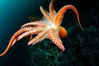 I segreti del polpo, l'animale più intelligente del mare. Cambia colore 177 volte all'ora (foto)