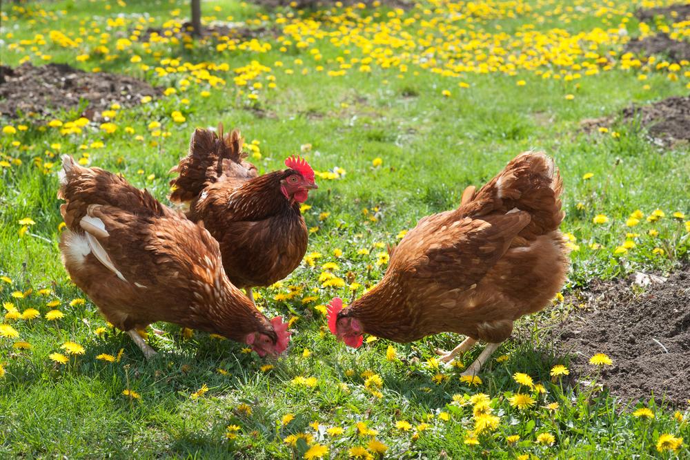 fertilizzante da letame polli