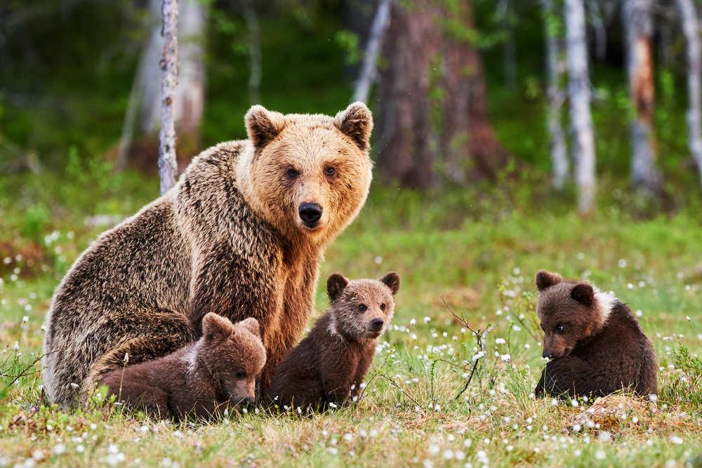 letargo degli orsi