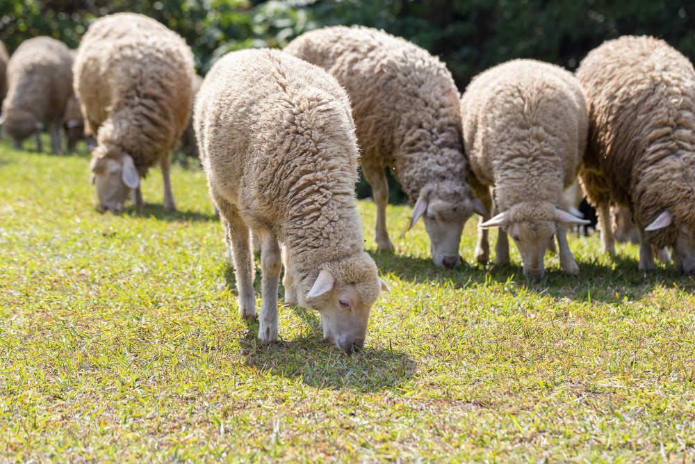 pecore per tagliare l'erba