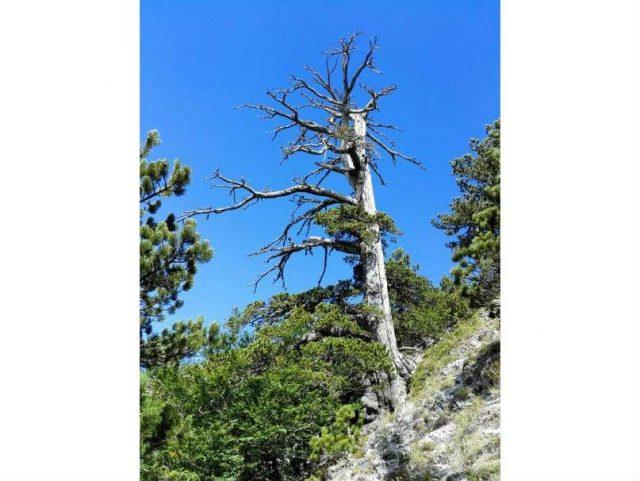 albero più vecchio di europa