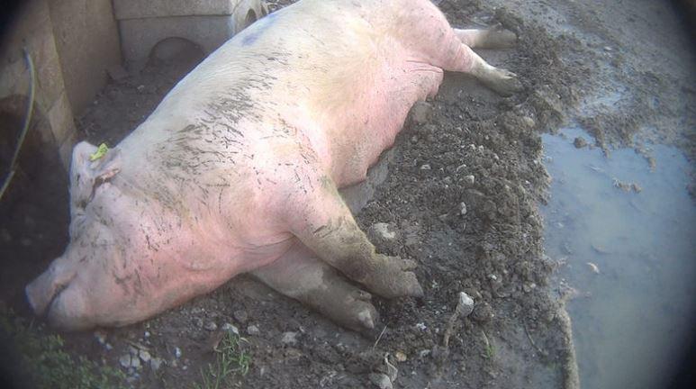 maltrattamento maiali in allevamento per prosciutto