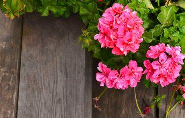 piante da mettere vicino alle rose