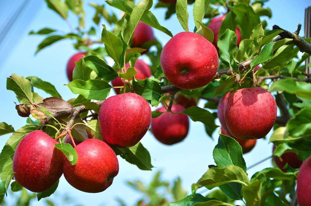 Come coltivare il melo: i consigli per scegliere la giusta varietà e ottenere un buon raccolto