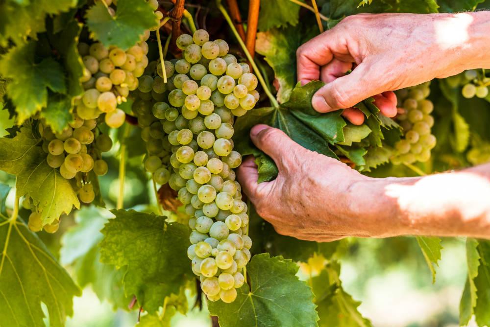 Viticoltura sostenibile, come è possibile non sprecare nulla. Dai resti della potatura agli scarti della vinaccia. Tutto si recupera
