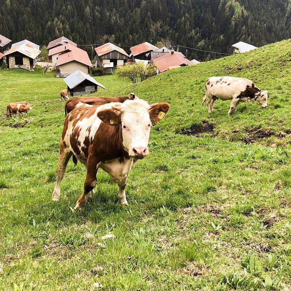 Adotta una mucca: una quota mensile per sostenere a distanza gli allevatori