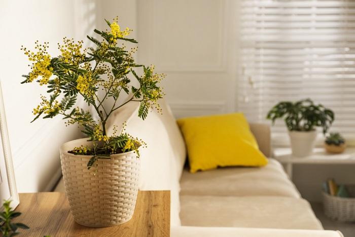 Come coltivare la mimosa in vaso e decorare il balcone con i suoi profumatissimi fiori