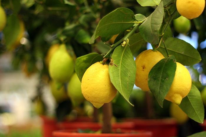 Come coltivare i limoni nel vaso